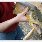 Brown Trout Caught on The Bow River