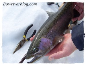 A-Bow-River-Rainbow-Trout