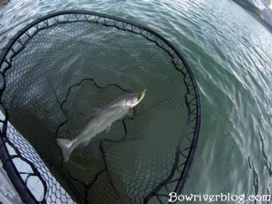 spin-fishing-for-bull-trout-Alberta